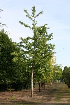 Japanse notenboom snoeien