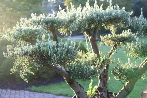 japanse bomen en planten